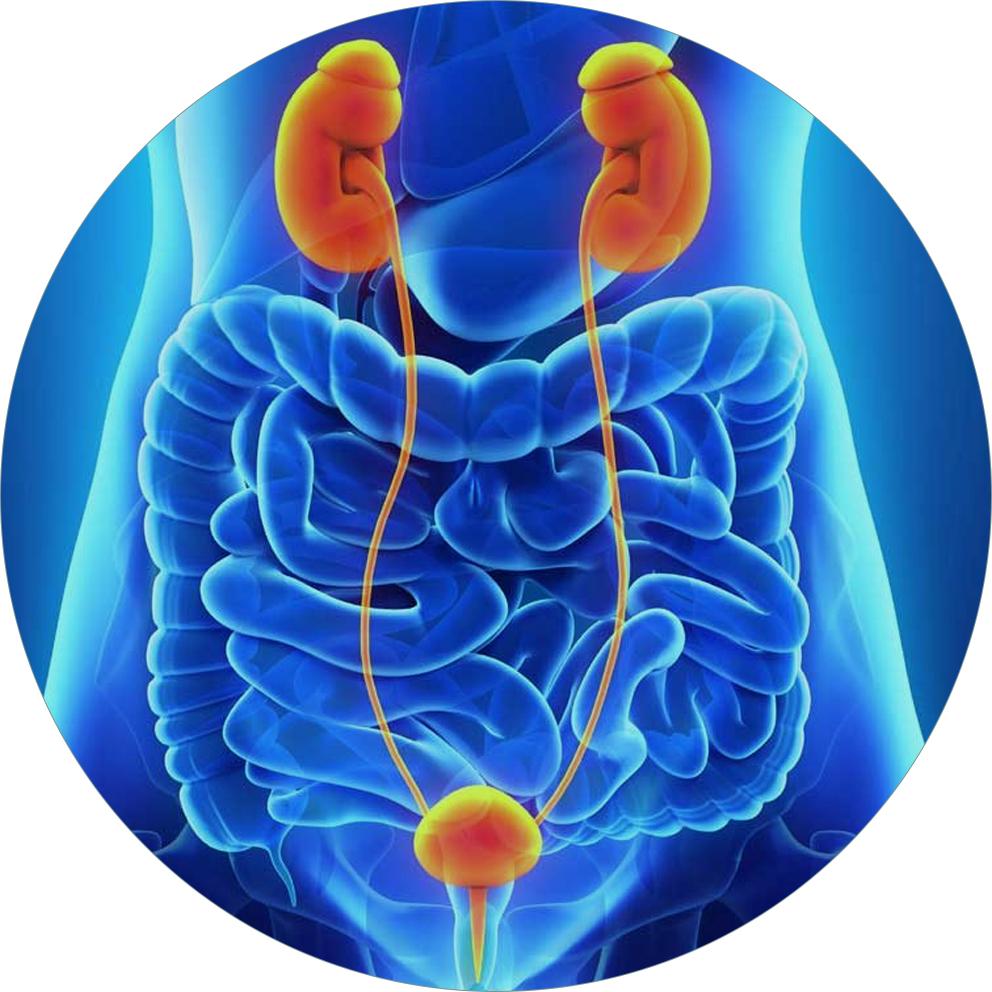 sistema uro genital